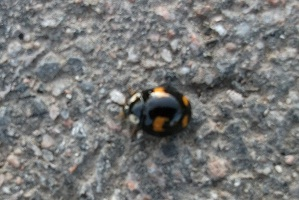 Ladybird crossing path