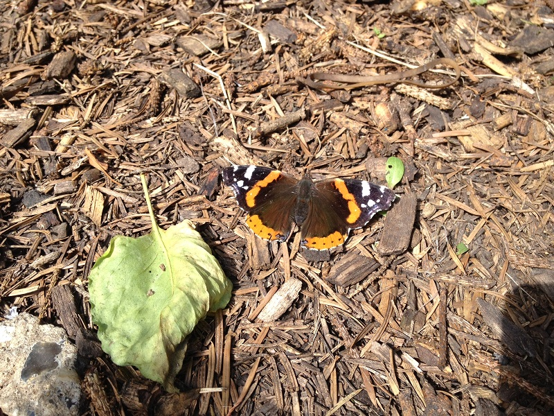 Red Admiral 2012