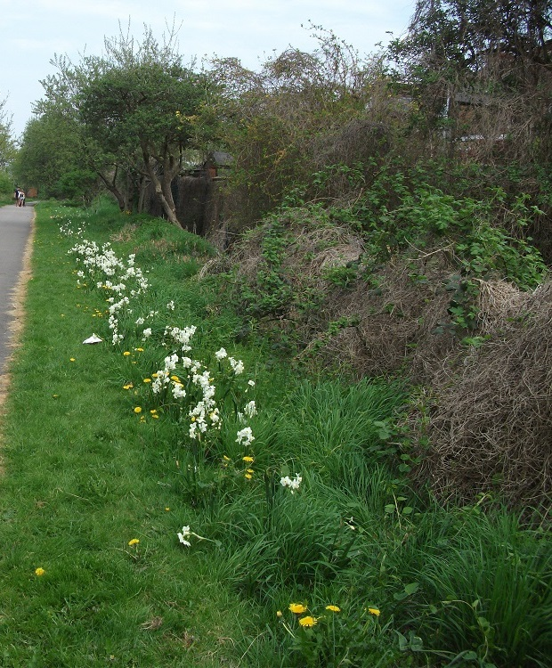 Daffodils Opposite School<br>Exit 21/04/2018