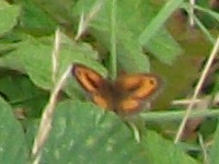 The Gatekeeper Butterfly