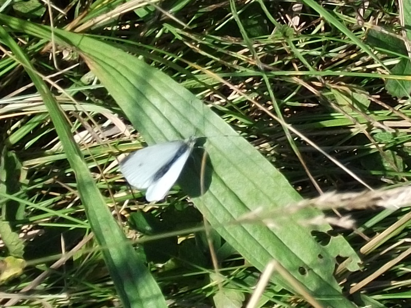 The Small White Butterfly